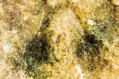 绿色霉菌模子,看法传播在被损坏的食品的通过显微镜 库存照片