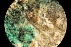 绿色霉菌模子,看法传播在被损坏的食品的通过显微镜 免版税图库摄影