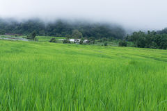 绿色露台的米领域在清迈,泰国 图库摄影