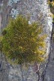 绿色青苔和灰色地衣 免版税库存照片
