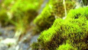 绿色青苔在云杉的森林里 影视素材