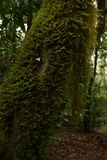 绿色青苔在树干垂悬 免版税库存照片