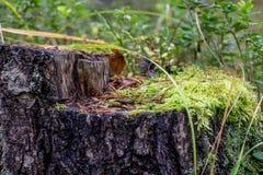 绿色青苔在树桩增长 免版税库存照片