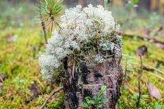 绿色青苔在树桩增长 免版税图库摄影