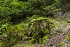 绿色青苔在森林地板上和在裁减树干 免版税库存图片