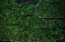 绿色青苔地衣背景纹理美好本质上与co的 库存照片