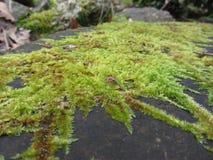 绿色青苔本质上 青苔细节包括石头 免版税库存图片