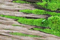 绿色青苔根源结构树 库存图片