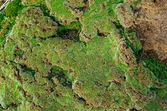 绿色青苔生长在老砖墙上的,常青绿色青苔本质上 免版税库存照片