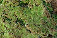 绿色青苔生长在老砖墙上的,常青绿色青苔本质上 库存图片