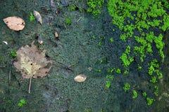 绿色青苔纹理和背景在石自然 免版税图库摄影