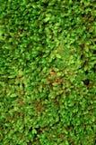 绿色青苔纹理本质上泰国 库存图片