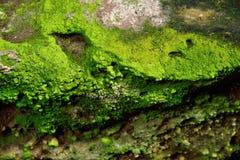 绿色青苔纹理本质上泰国 库存照片