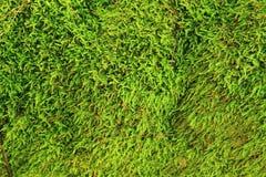 绿色青苔纹理 免版税库存图片