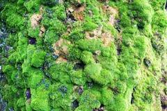 绿色青苔纹理 免版税库存照片