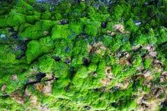 绿色青苔纹理 库存照片
