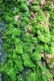 绿色青苔纹理 图库摄影
