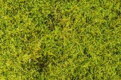 绿色青苔背景纹理美好本质上 特写镜头 免版税库存照片