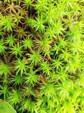 绿色青苔针特写镜头 库存照片