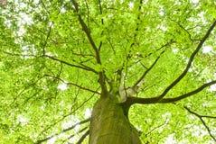 绿色顶部结构树 库存照片