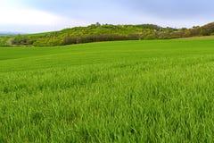 绿色领域在南摩拉维亚,捷克 挥动与绿草的小山,滚动领域 Moravian托斯卡纳 库存图片