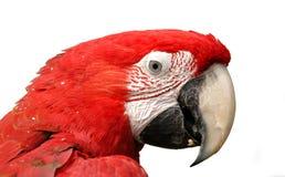 绿色飞过的查出的金刚鹦鹉白色 免版税库存图片