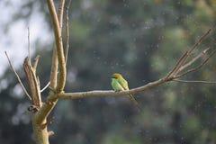 绿色食蜂鸟 免版税库存图片