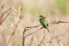 绿色食蜂鸟栖息关闭 免版税库存图片