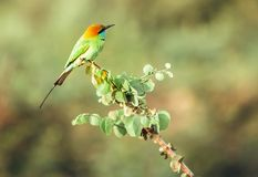 绿色食蜂鸟鸟的远摄镜头射击在斯里兰卡的密林 库存照片