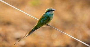 绿色食蜂鸟鸟 库存照片