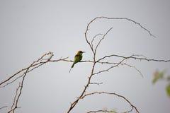 绿色食蜂鸟 单独坐thrtons词根  库存图片
