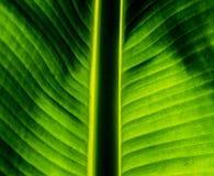 绿色香蕉叶子关闭与后边背景光 库存照片