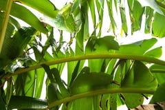 绿色香蕉叶子,绿色热带叶子纹理隔绝在文件白色背景与裁减路线的 库存图片