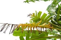 绿色香蕉叶子,绿色热带叶子纹理隔绝在文件白色背景与裁减路线的 库存照片