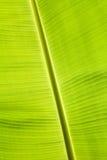 绿色香蕉叶子 免版税库存图片
