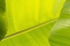 绿色香蕉棕榈叶特写镜头 库存图片