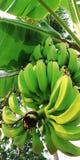 绿色香蕉胜利 免版税库存照片