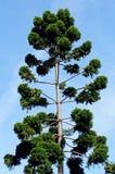 绿色高云杉的树 库存照片
