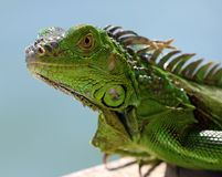 绿色鬣鳞蜥公美丽的多色动物,五颜六色的爬行动物在南佛罗里达 库存图片