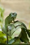 绿色鬣鳞蜥凝视 免版税图库摄影