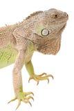 绿色鬣鳞蜥口鼻部 图库摄影