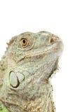 绿色鬣鳞蜥口鼻部 免版税图库摄影