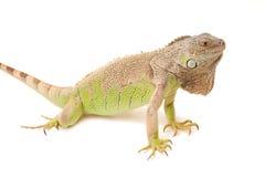 绿色鬣鳞蜥口鼻部 库存图片