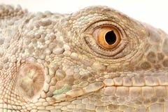 绿色鬣鳞蜥口鼻部 库存照片