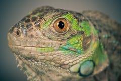 绿色鬣鳞蜥口鼻部 免版税库存照片