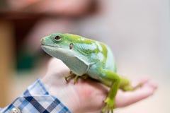 绿色鬣鳞蜥在手中 免版税库存照片