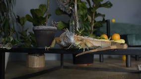 绿色鬣鳞蜥在桌上爬行并且看照相机 爬行动物在反对绿色植物的内部屋子 影视素材