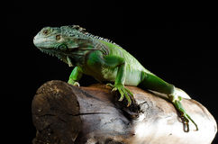绿色鬣鳞蜥摆在木头大块  免版税库存图片