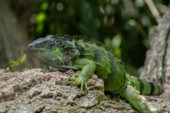 绿色鬣鳞蜥特写镜头在树枝的 库存照片