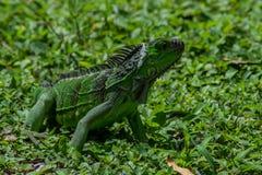 绿色鬣鳞蜥特写镜头在草的在晴天 免版税库存图片